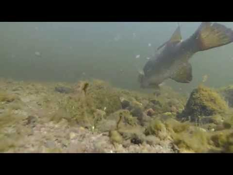 GoPro: Bedding Smallmouth (Gold)