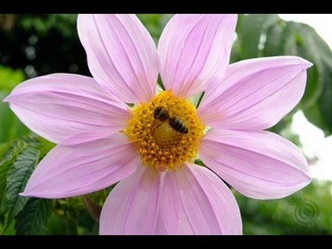 dahlia imperialis is colombia's 20 foot flower - youtube