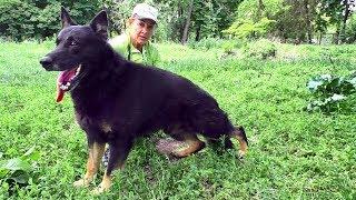Имо - черноподпалый кобель Немецкой овчарки 9 лет. German Shepherd 9 years.