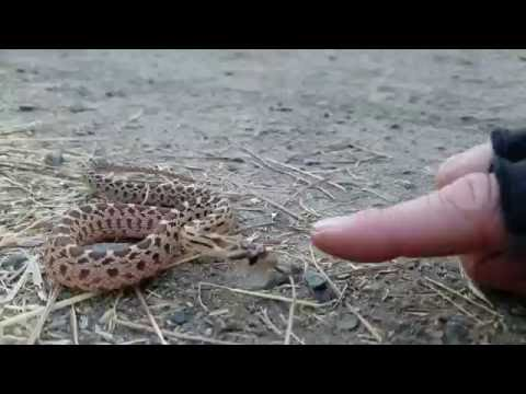 Getting bitten by a Gopher Snake!