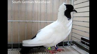 Fancy Pigeon Breeds S, Rassetauben In Englisch Mit S