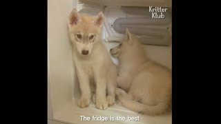 Husky Siberian Puppies lock Themselves In The Fridge To Stay Cool | Kritter Klub