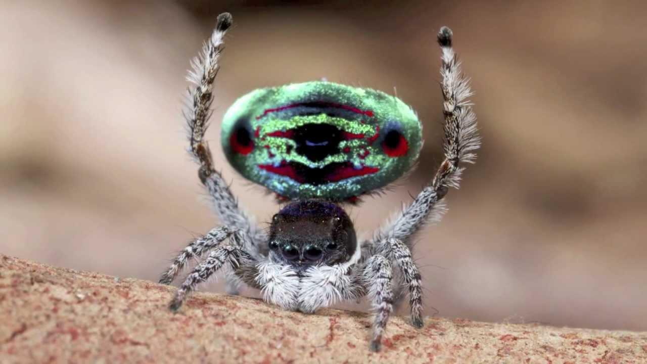 Peacock Spider 5 Maratus Sarahae Youtube