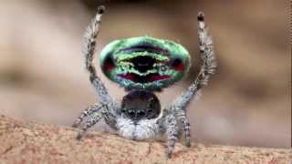 Peacock Spider 5 (Maratus sarahae)