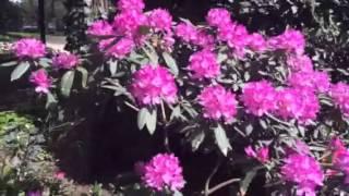 Como Cultivar Rododendros Y Azaleas Con éxito En Mar Del Plata