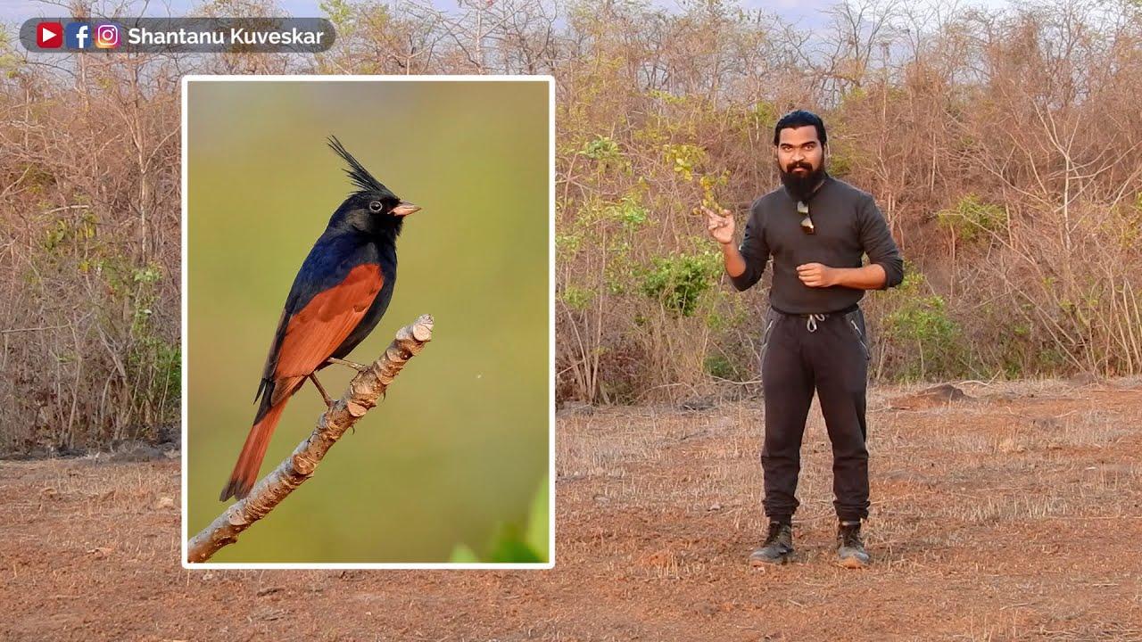 The crown prince of bird world of India!   Crested bunting (Emberiza lathami)   by Shantanu Kuveskar