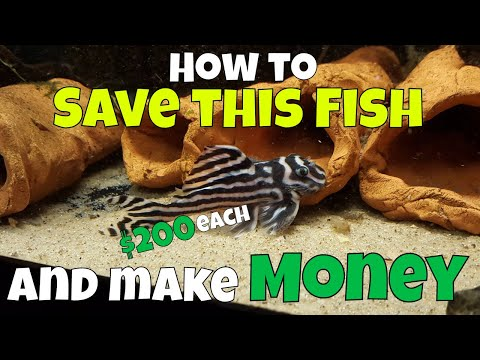Saving An Endangered Species While Also Making Money - Zebra Pleco Breeding With Jeremy Basch