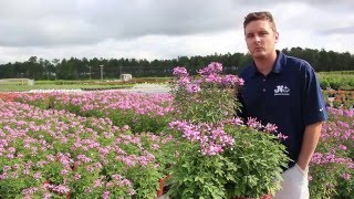 In The Nursery: Proven Winner Cleome