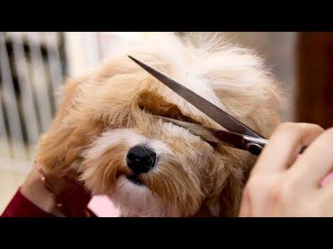 (, maltipoo,mix dog, maltese X poodle)