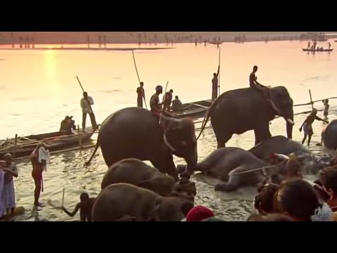 Indian Elephants - Ganges - BBC
