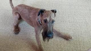 Grouchy Irish Terrier Boden