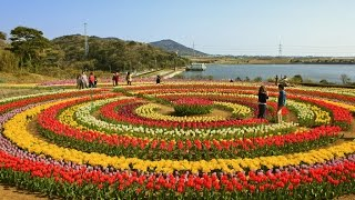 largest tulip garden opens for tourists in Kashmir