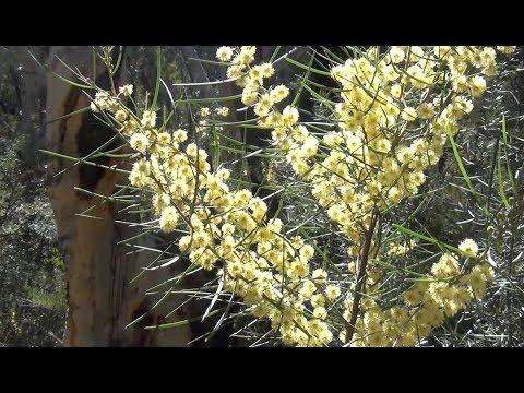 Bush Blossums, Morton National Park, winter's end, Bundanoon