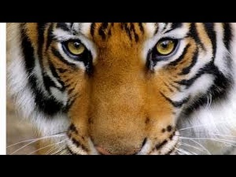 10 Very Interesting Facts About Tigers - YouTube