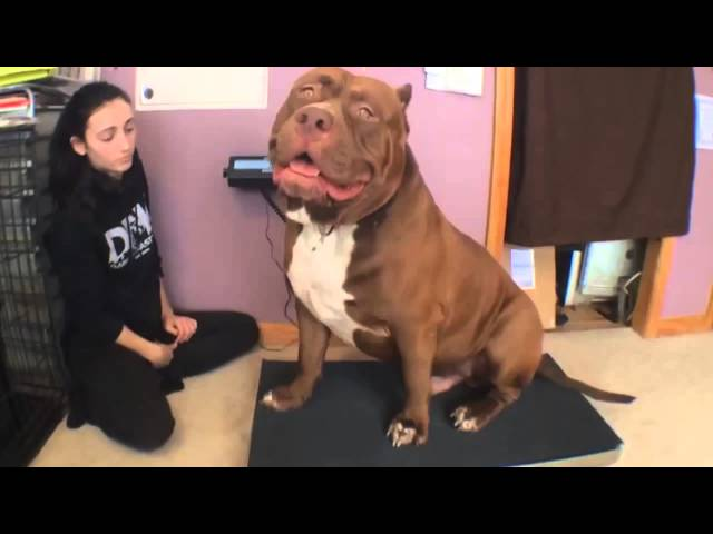 Hulk The Dog May Be The Worlds Biggest Pit Bull AOL News - Meet hulk possibly worlds biggest pitbull still growing
