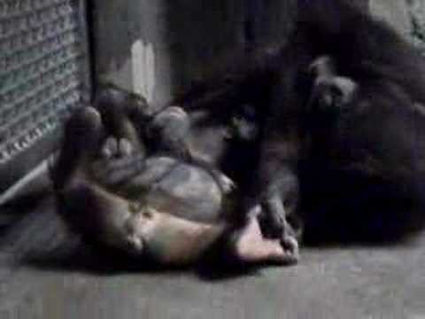 Gorilla rape