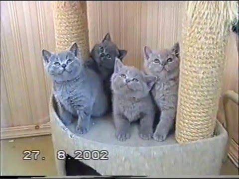 Британские котята питомника британских кошек Silvery Snow