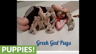 Litter of pug puppies completely swarm human