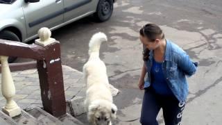 Дрессировка щенка кавказской овчарки. Работа над ошибками или Не мешайте собаке ошибаться.