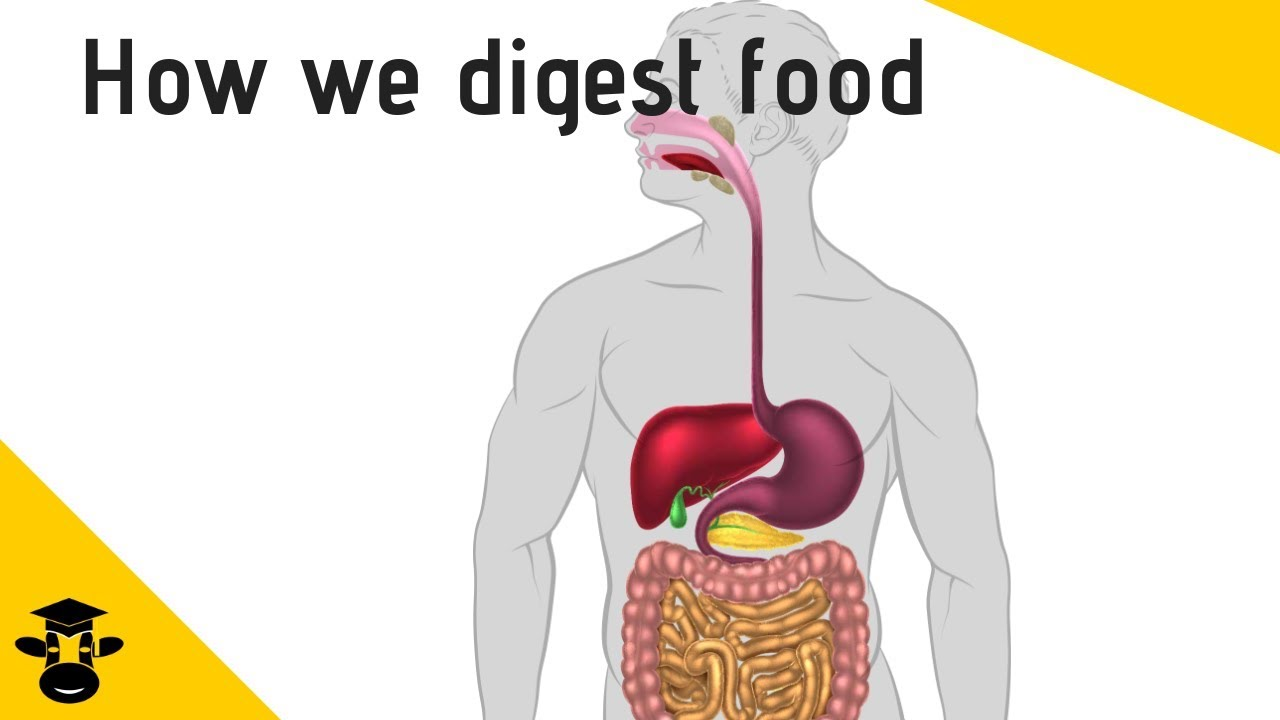 Parts Of The Digestive System Youtube