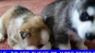 Siberian Husky Puppies For Sale Www.petclassifieds1.com