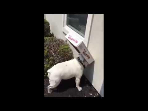 Cute Bulldog Can't See Past Box
