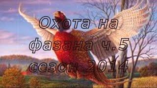 Охота на фазана в России видео