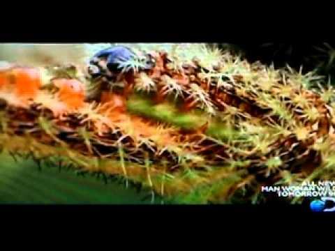 The Assassin Caterpillar
