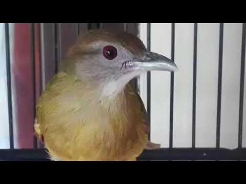 Langsung Respon!!! Terapi Burung Kapas Tembak Lelet Dan Males Bunyi