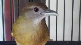 Download Mp3 Langsung Respon!!! Terapi Burung Kapas Tembak Lelet Dan Males Bunyi