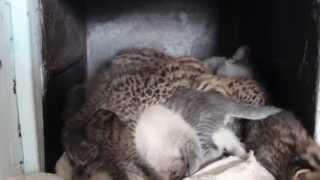 Дальневосточные котята у приёмной мамы-кошки