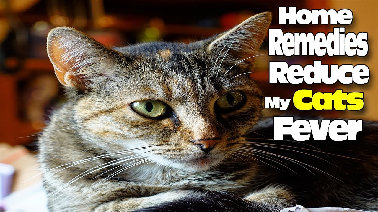 HOME REMEDIES TO REDUCE MY CAT'S FEVER