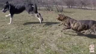 Бенгальский кот демонстрирует дикий инстинкт