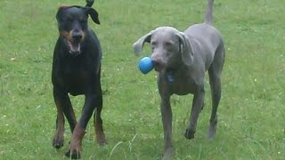 Doberman Dexter & Sebastian Weimaraner Playing.