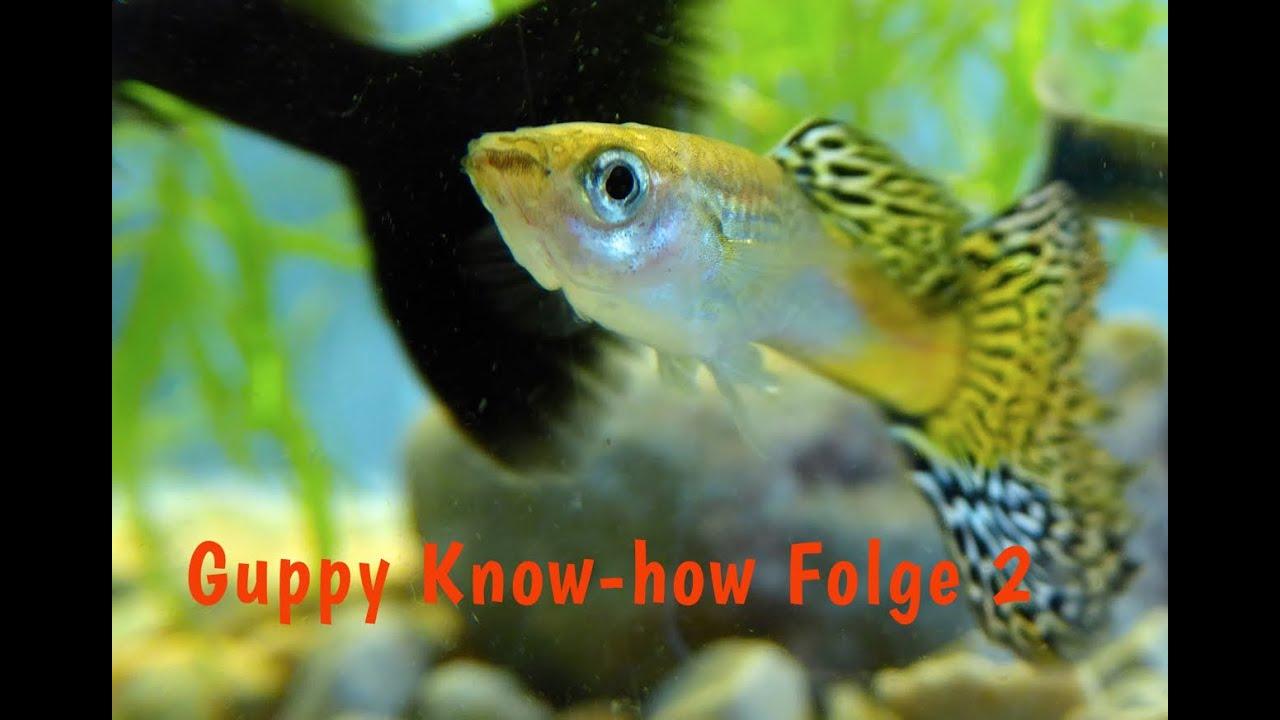Guppy know how folge 2 das guppy aquarium bepflanzen for Aquarium fische