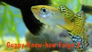 Guppy Know-how Folge 2: Das Guppy-Aquarium bepflanzen, Wasserpflanzen,  Dokumentation Fische