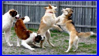 Shelby Goes To The Dog Park! Siberian Husky