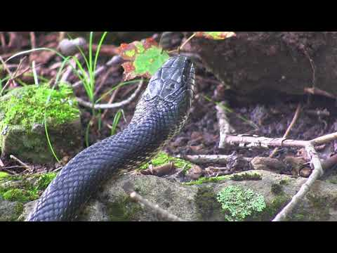 Wild Black Rat Snake Slither Slider