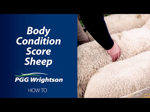 How To Body Condition Score Sheep | PGG Wrightson