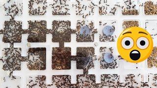 Gambar cover Increíble mudanza de hormigas a otro hormiguero  |  LA HORMIGA REINA ABANDONA SU REINO