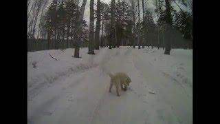 Собака.  А мы гуляем в лесу. Муром. Ковардицы.