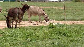 Repeat youtube video Miniature Donkey KKR Bell Blue