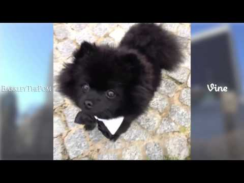 BarkleyThePom Top Video Compilation | Best Videos of 2013