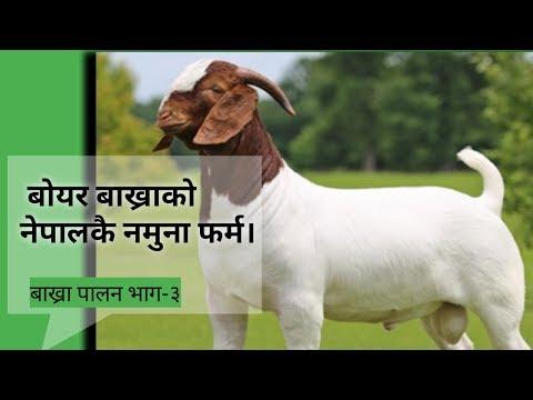 boer bakhara palan||boer goat farming in nepal||successful farmer story||2017||nepali
