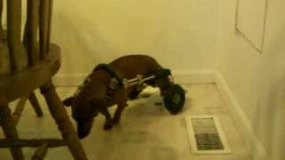 Oscar The Dachshund In His First Ride In His Eddie's Wheelchair