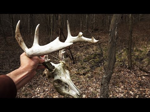 Shed Hunting Pa 2019 - Buck Dead Head - Finding Whitetail Deer Antlers Pennsylvania