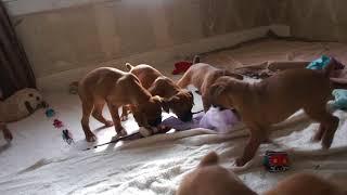 Мои щенки боксера. - My boxer puppies.