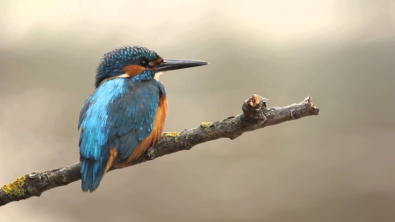 Image result for Belted and  Common kingfisher Photos