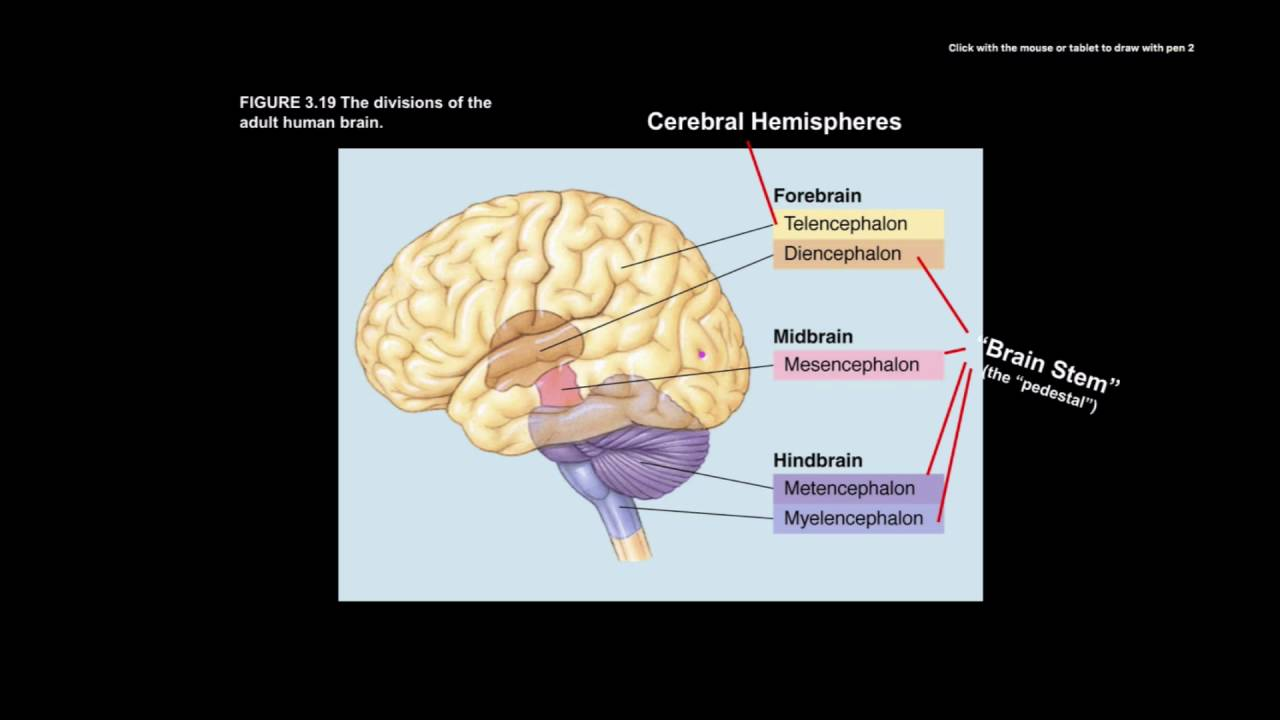 hight resolution of brain stem and neural development