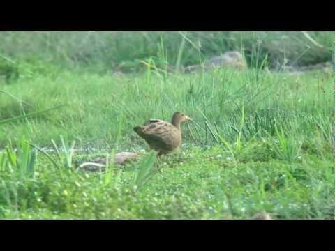 Watercock, Khawr Rawri (Dhofar), Oman